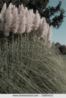 stock-photo-pampas-grass-15804511