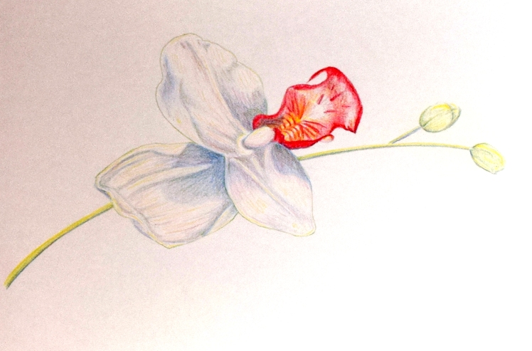 Orchids finished drawing